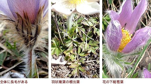 全体に長毛がある、羽状複葉の根出葉、花の下総苞葉