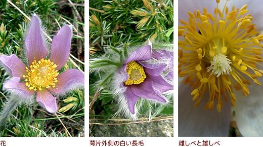 花、萼片外側の白い長毛、雌しべと雄しべ
