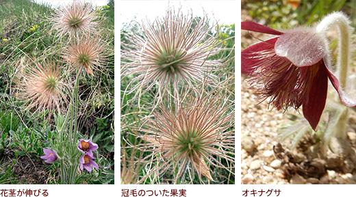 花茎が伸びる、冠毛のついた果実、オキナグサ