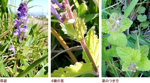 草姿、4稜の茎、葉のつき方