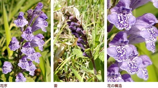 花序、蕾、花の構造