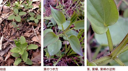 幼苗、葉のつき方、茎、葉縁、葉柄の逆刺