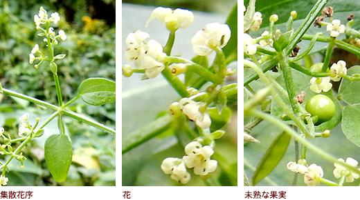 集散花序、花、未熟な果実