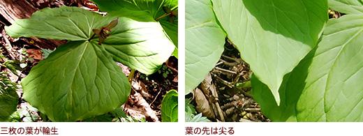 三枚の葉が輪生、葉の先は尖る