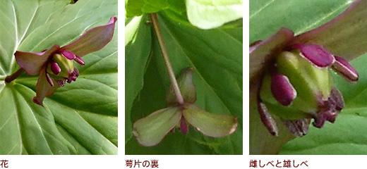 花、萼片の裏、雌しべと雄しべ
