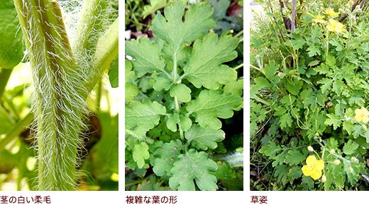 茎の白い柔毛、複雑な葉の形、草姿