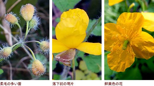 柔毛の多い蕾、落下前の萼片、鮮黄色の花