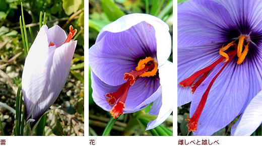 蕾、花、雌しべと雄しべ
