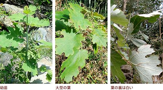 幼苗、大型の葉、葉の裏は白い