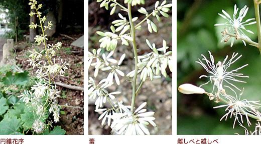 円錐花序、蕾、雌しべと雄しべ