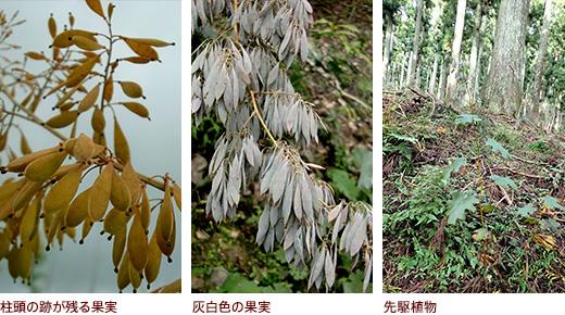 柱頭の跡が残る果実、灰白色の果実、先駆植物