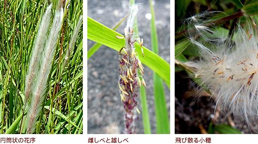 円筒状の花序、雌しべと雄しべ、飛び散る小穂