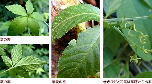 上 葉の表と下 葉の裏、葉表の毛、巻きひげと花茎は葉腋から出る
