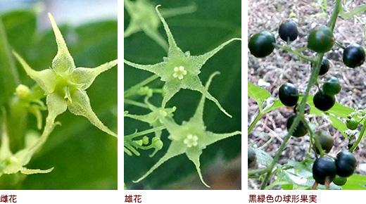 雌花、雄花、黒緑色の球形果実