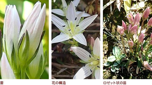 蕾、花の構造、ロゼット状の苗