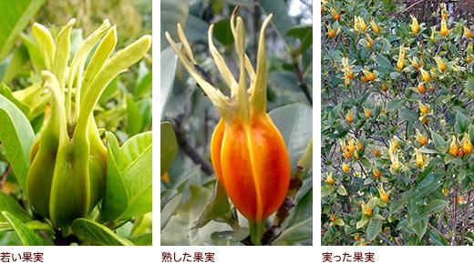 若い果実、熟した果実、実った果実