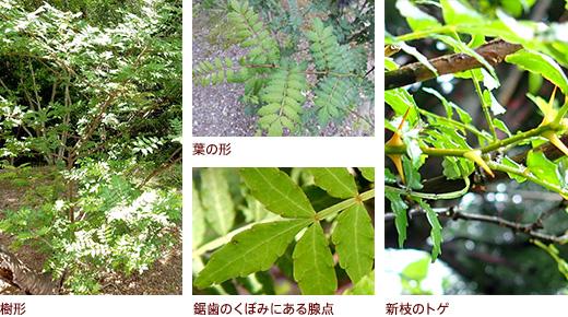 樹形、上 葉の形 下 鋸歯のくぼみにある腺点、新枝のトゲ