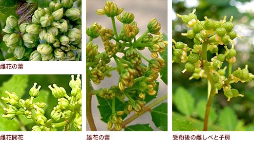 上 雌花の蕾 下 雌花開花、雄花の蕾、受粉後の雌しべと子房