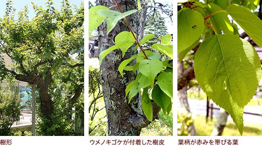 樹形、ウメノキゴケが付着した樹皮、葉柄が赤みを帯びる葉