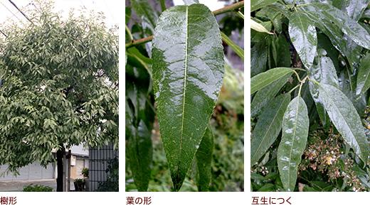 樹形、葉の形、互生につく
