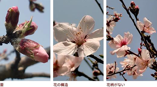 蕾、花の構造、花柄がない