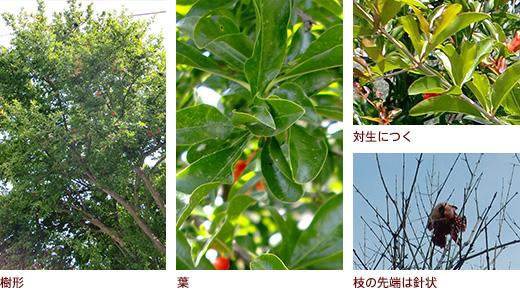 樹形、葉、上対生につく・下枝の先端は針状