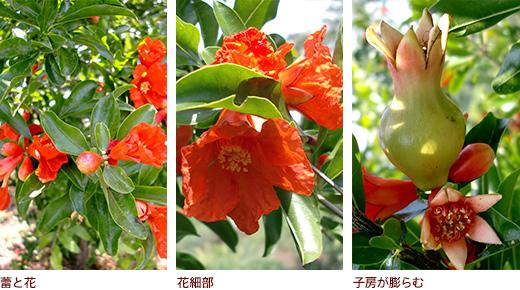 蕾と花、花細部、子房が膨らむ