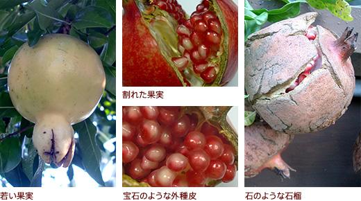 若い果実、上割れた果実・下宝石のような外種皮 、石のような石榴