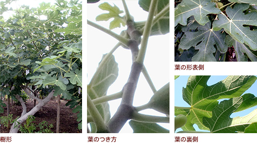 樹形、葉のつき方、上 葉の形表側、下 葉の裏側