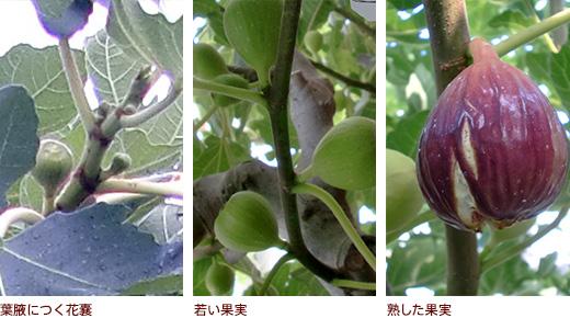 葉腋につく花嚢、若い果実、熟した果実