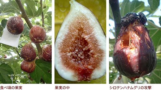 食べ頃の果実、果実の中、シロテンハナムグリの攻撃