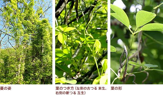 蔓の姿、葉のつき方、葉の形