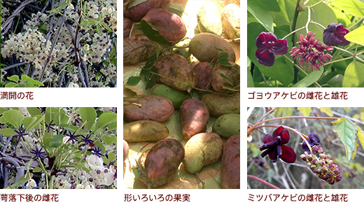上満開の花 下萼落下後の雌花、形いろいろの果実、上ゴヨウアケビの雌花と雄花 下ミツバアケビの雌花と雄花