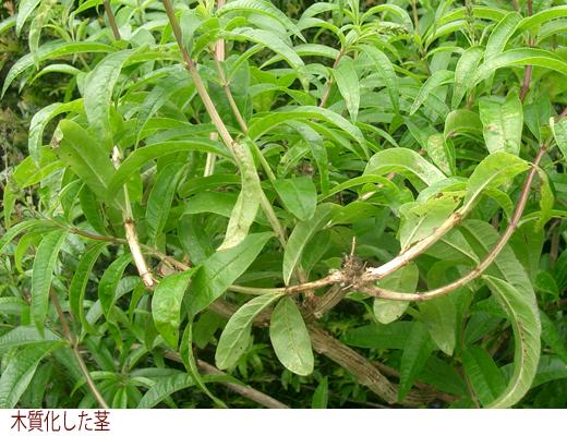 木質化した茎