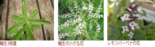 輪生3枚葉、輪生の小さな花、レモンバーベナの花