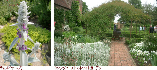 ラムズイヤーの花、シシングハーストのホワイトガーデン