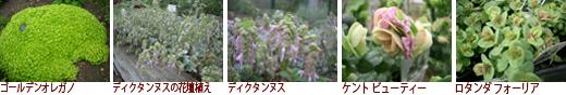 ゴールデンオレガノ、ディクタンヌスの花壇植え、ディクタンヌス、ケント ビューティー、ロタンダ フォーリア