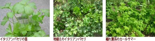 イタリアンパセリの苗、地植えのイタリアンパセリ、縮れ葉系のカールサマー