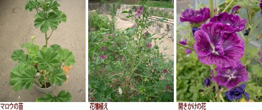 マロウの苗、花壇植え、開きかけの花