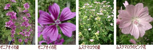 ゼニアオイの姿、ゼニアオイの花、ムスクマロウの姿、ムスクマロウのピンク花