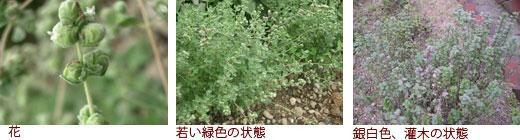 花、若い緑色の状態、銀白色、灌木の状態