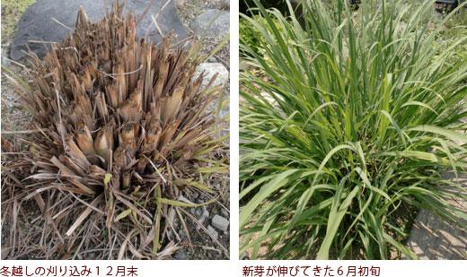 冬越しの刈り込み12月末、新芽が伸びてきた6月初旬
