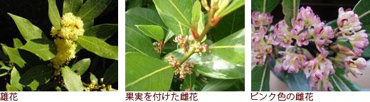 雄花、果実を付けた雌花、ピンク色の雌花