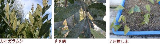 カイガラムシ、すす病、7月挿し木