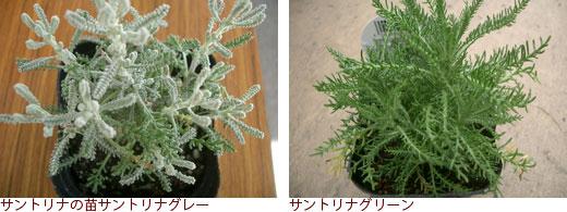 サントリナの苗サントリナグレー、サントリナグリーン