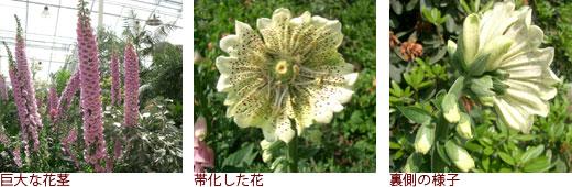 巨大な花茎、帯化した花、裏側の様子