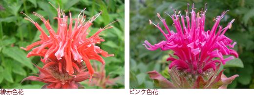 緋赤色花、ピンク色花