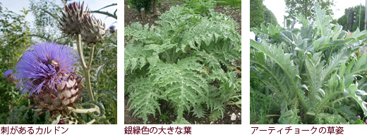 刺があるカルドン、銀緑色の大きな葉、アーティチョークの草姿