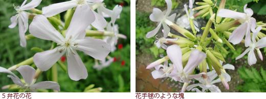 花びら5枚、花びら6枚