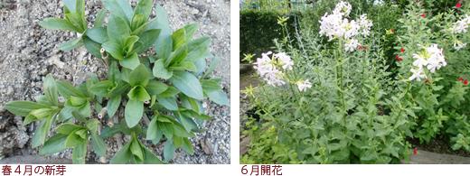 種まきから、赤実と白実のポット苗